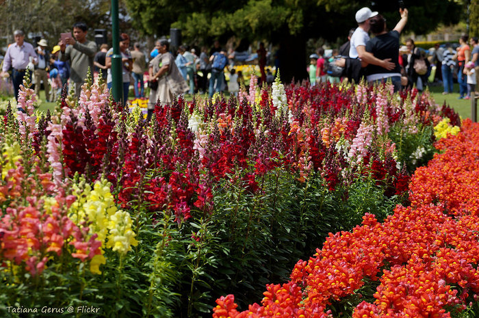 Toowoomba Carnival of Flowers Blooms